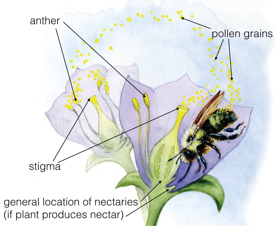 What is Pollination? | Bee City Canada