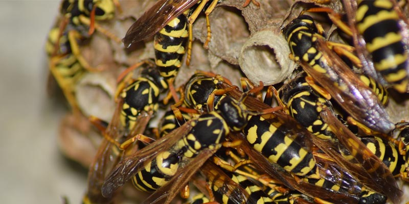 Living With Bees and Wasps