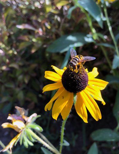 Bee sitting on Black Eyed Susan