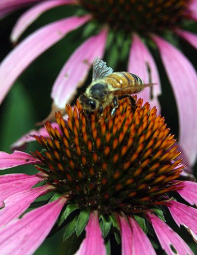 Bee on Echinacea Close-up