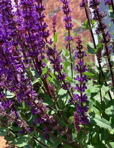Bee on purple perennials