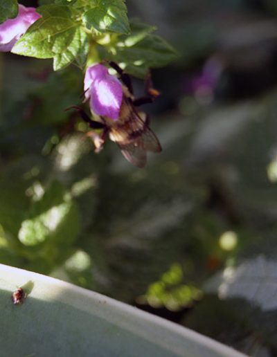 Bee on White Nancy