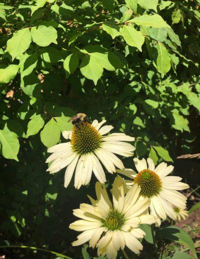 Bee on Yellow Echinacea