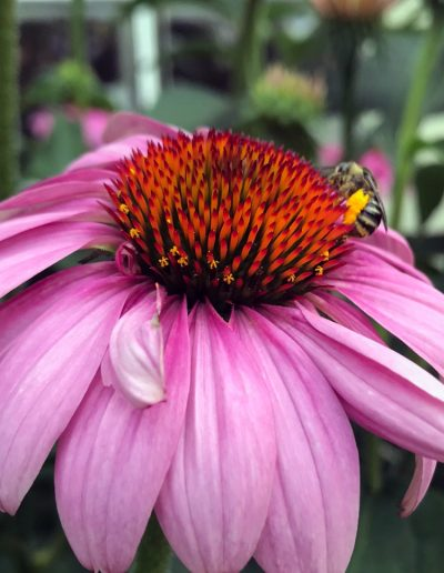 Close-up of bee sitting on a pink echinacea