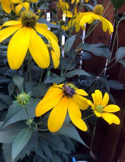 Bee visiting echinacea paradoxa