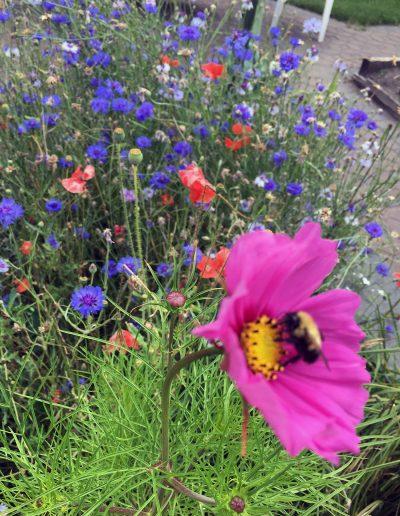 Bee visiting big pink bloom