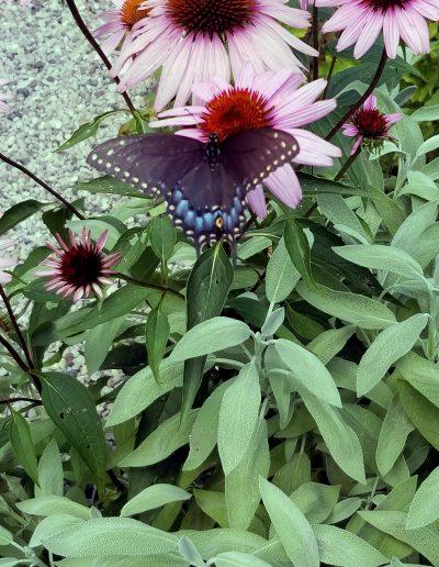 Black Swallowtail visiting pink echinacea