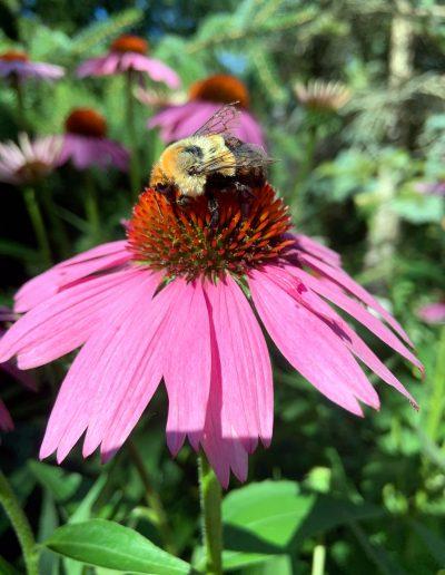 Bumblebee on Pink Echinacea
