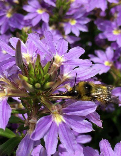 Bumblebee visiting purple flower