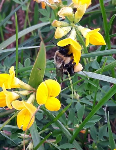 Bumblebee visiting a small yellow flower
