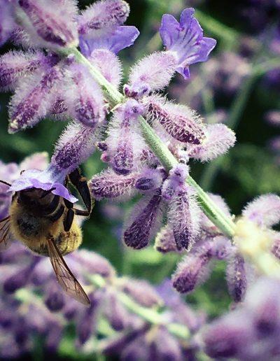 Bumblebee visiting violet blooms