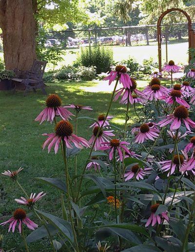 Echinaceas in backyard garden