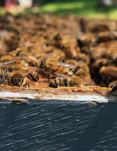 Honeybees close-up