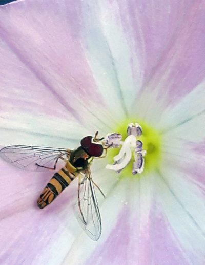 Hoverfly on light purple bloom