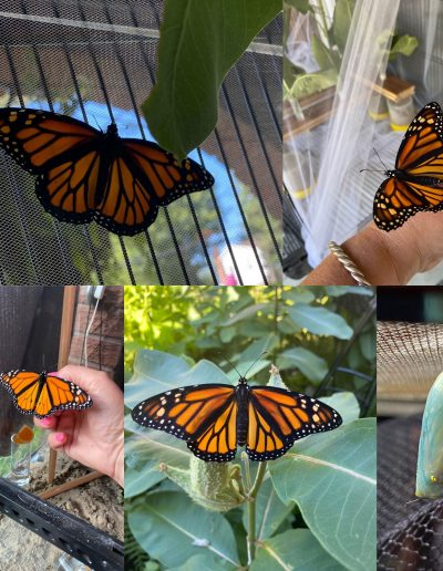 Monarch Collage