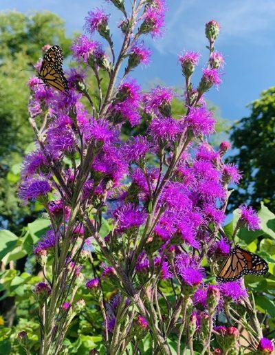 Monarch on purple flower