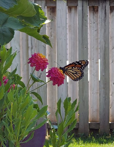 Monarch visiting a pink zinnia