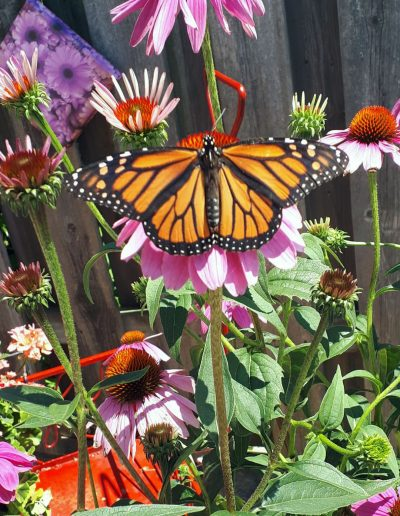 Monarch butterfly visiting echinacea