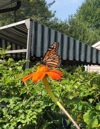Monarch visiting orange flower