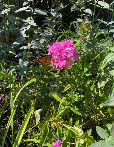 Monarch visiting pink flowers