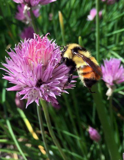 Orange-Belted Bumblebee