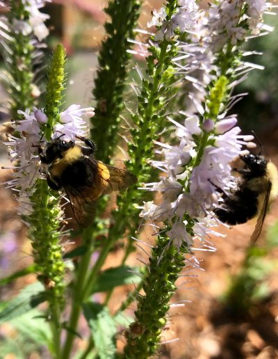 A pair of bumblebees