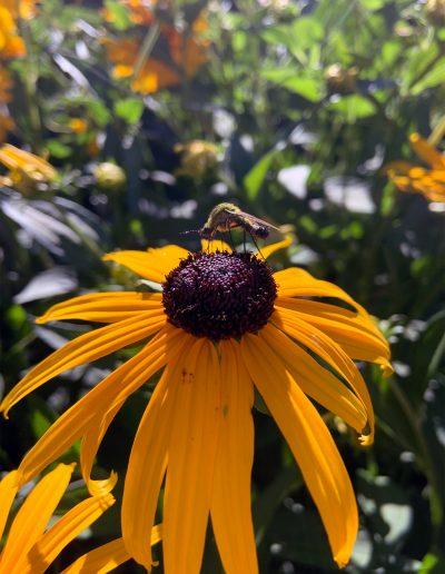 Pollinator on Black Eyed Susan