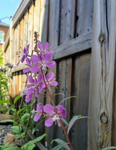 Purple backyard blooms