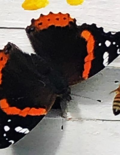 Red Admiral butterfly with bee