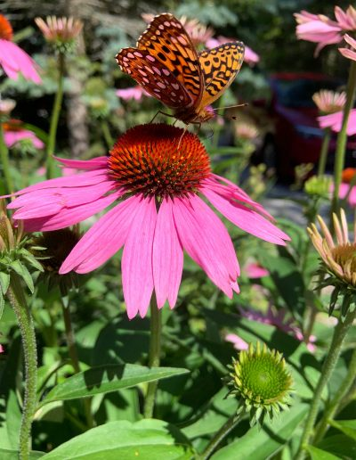 Spotted Rustic Butterfly on Pink Echinacea