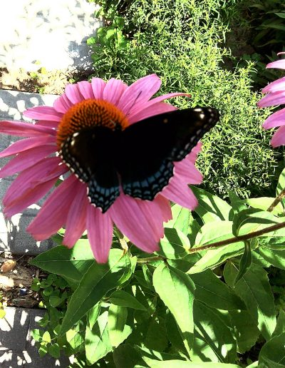 Swallowtail butterfly on pink echinacea