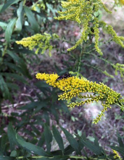 Black wasp visiting Goldenrod