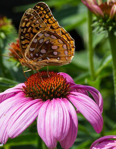 Fritillary Echinacea