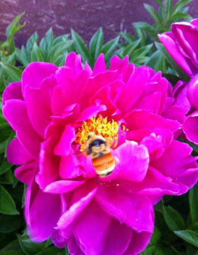 Orange-Belted bumblebee visiting pink bloom