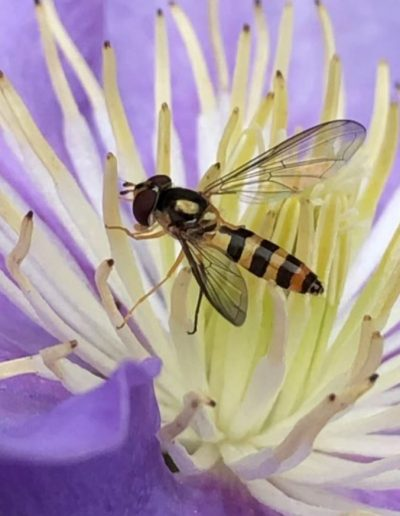 Hover Fly Visiting Clematis
