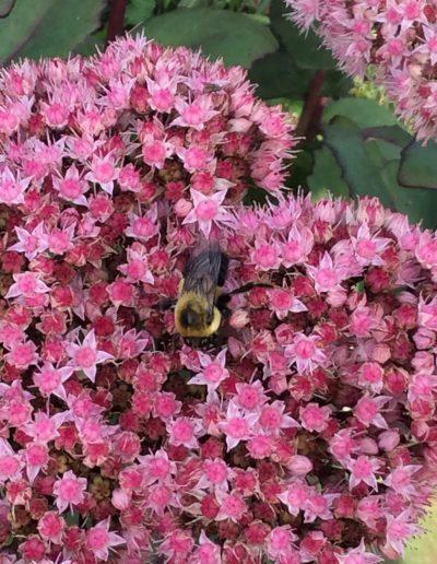 Bee visiting pink flowers