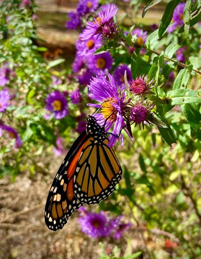 Monarch butterfly visiting purple bloom
